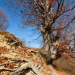Beech tree — Stock Photo