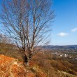 Beech tree — Foto Stock