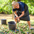 Old woman harvesting plums — Stock Photo #4361920