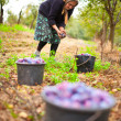 Stock Photo: Old woman harvesting plums