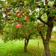 Apple trees with red apples — Stok fotoğraf