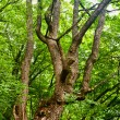 Stock Photo: Old tree in forest