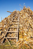 Stack of corn stems — Stock Photo