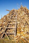 Stack of corn stems — Stock Photo