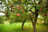 árvores de maçã com maçãs vermelhas — Foto Stock