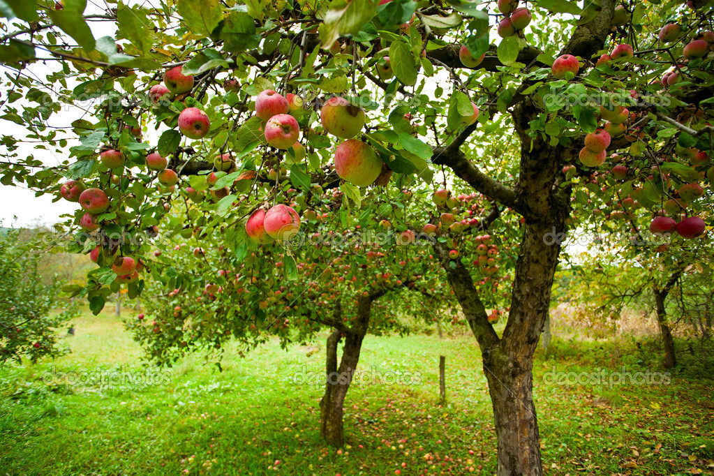 Trees with red apples in an orchard — Foto de Stock   #4362038