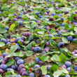 Stock Photo: Plums shaken down at harvest