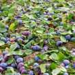 Plums shaken down at harvest — Stock Photo