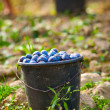 Buckets with harvested plums - Stock Photo