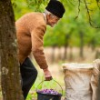 Senior farmer with a bucket of plums — Stock Photo