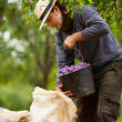 Foto Stock: Young farmer at plum harvesting