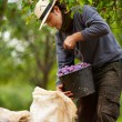 Young farmer at plum harvesting — Stock Photo