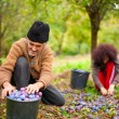 Senior farmer and his daughter picking plums — Stock Photo