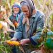 Harvesting corn — Stock Photo #4387474