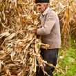 Stock Photo: Senior farmer at corn harvesting