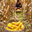 Basket with corn in the field - Stock Photo
