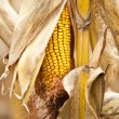 Corn cob macro - Stock Photo