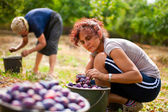 Young lady picking plums — Stock Photo
