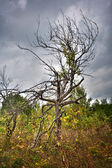 Dead tree under cloudy sky — Stock Photo