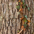 Ivy on tree — Foto Stock