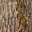 Ivy on tree — Stock Photo #4598981