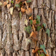 Ivy on tree - Stock Photo