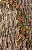 Ivy on tree — Stock Photo