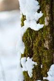 Snow melting on tree bark and moss — Stock Photo