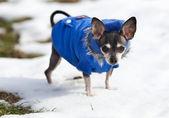 Perro chihuahua al aire libre — Foto de Stock