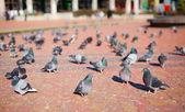 Skupina holubů — Stock fotografie