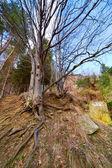 Old tree — Stock Photo