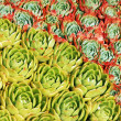 Hens and chicks cactus plants — Stock Photo