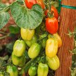 Stock Photo: Red and green tomatoes