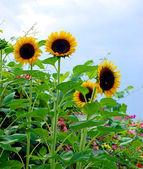 Sunflowers in full bloom — Stock Photo