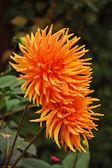 Orange dahlia flowers — Stock Photo