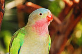 Colorful princess parrot — Stock Photo