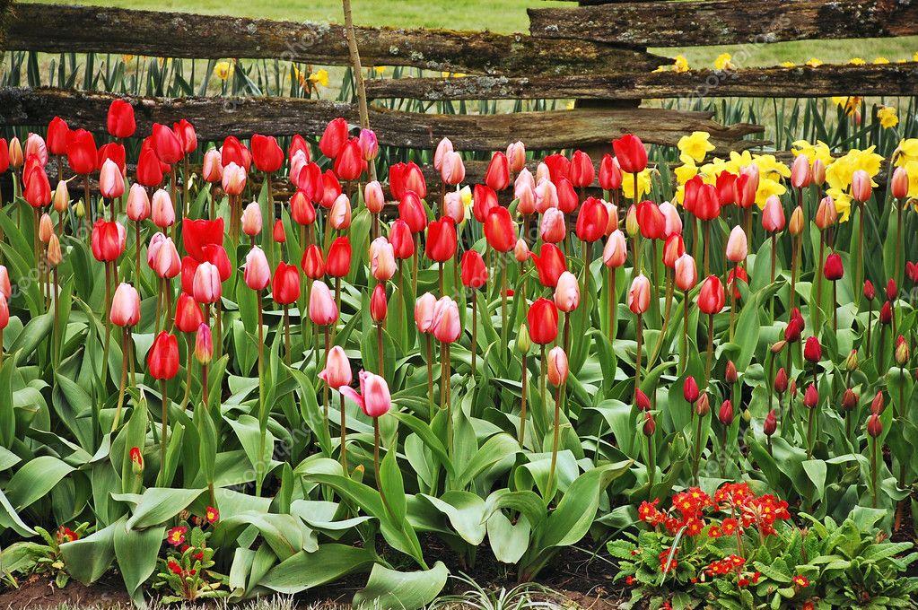 Beautiful tulip garden Stock Photo montana 5373954