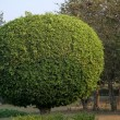 Stock Photo: Leafy ball