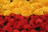 Yellow and Red Bloom — Stock Photo