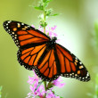 Stock Photo: Feeding monarch butterfly