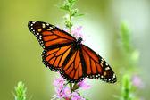 Alimentazione delle farfalle monarca — Foto Stock