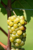 Green chardonnay grapes — Stock Photo
