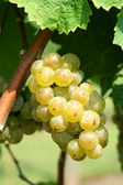Green chardonnay grapes — Stock Photo