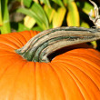 Stock Photo: Pumpkin stem