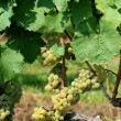Green chardonnay grapes — Foto Stock