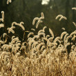 Stock Photo: Foxtail weeds