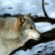 Wolf closeup - Stock Photo
