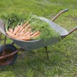 Wheelbarrow with carrot — Stock Photo