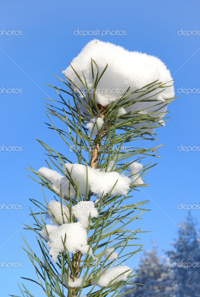雪对天空中的小松树树的顶部– 图库图片