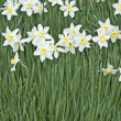 Daffodil — Stock Photo #5361351